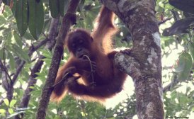 Semi-wild juvenile orangutan. Gunung Leuser National Park, Sumatra, Indonesia. Photo copyright: David Bartholomew