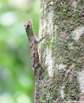 Gliding lizard. Gunung Leuser National Park, Sumatra, Indonesia. Photo copyright: David Bartholomew
