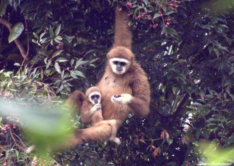 White-handed gibbons. Gunung Leuser National Park, Sumatra, Indonesia. Photo copyright: David Bartholomew