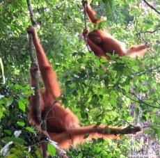 Mother and baby semi-wild orang-utans. Gunung Leuser National Park, Sumatra, Indonesia. Photo copyright: David Bartholomew