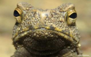 Toad. Gunung Leuser National Park, Sumatra, Indonesia. Photo copyright: David Bartholomew