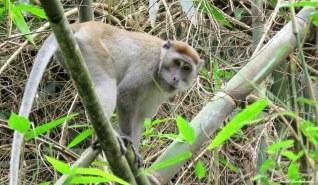 Long-tailed macaque. Gunung Leuser National Park, Sumatra, Indonesia. Photo copyright: David Bartholomew