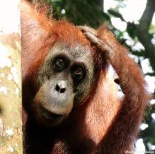Semi-wild female orang-utan. Gunung Leuser National Park, Sumatra, Indonesia. Photo copyright: David Bartholomew
