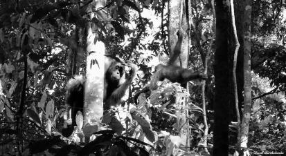 Semi-wild mother & baby orang-utans. Gunung Leuser National Park, Sumatra, Indonesia. Photo copyright: David Bartholomew