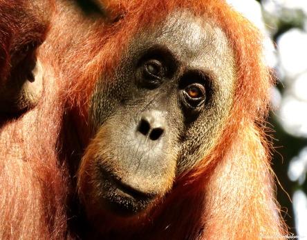 Half-blind semi-wild female orangutan. Gunung Leuser National Park, Sumatra, Indonesia. Photo copyright: David Bartholomew