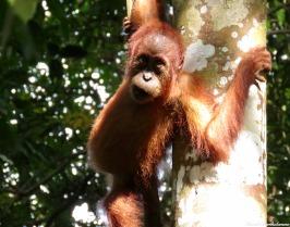 Semi-wild baby orangutan. Gunung Leuser National Park, Sumatra, Indonesia. Photo copyright: David Bartholomew