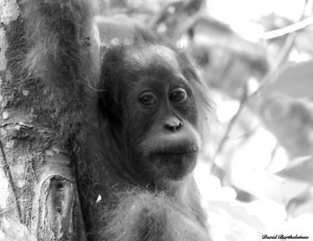Juvenile semi-wild orangutan. Gunung Leuser National Park, Sumatra, Indonesia. Photo copyright: David Bartholomew