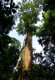 Canopy emergent with developing strangler fig. Gunung Leuser National Park, Sumatra, Indonesia. Photo copyright: David Bartholomew