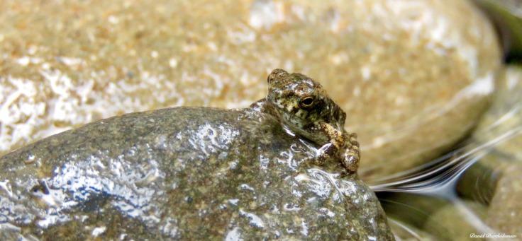 River frog. Gunung Leuser National Park, Sumatra, Indonesia. Photo copyright: David Bartholomew