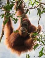 Wild female sumatran orangutan feeding on fig leaves. Gunung Leuser National Park, Sumatra, Indonesia. Photo copyright: David Bartholomew