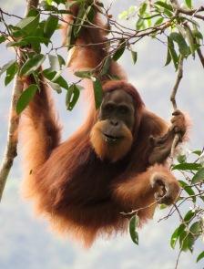 Wild female Sumatran orangutan. Gunung Leuser National Park, Sumatra, Indonesia. Photo copyright: David Bartholomew