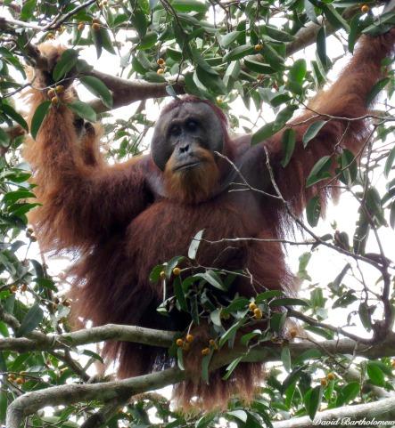 Flanged sub-dominant male Sumatran orangutan. Gunung Leuser National Park, Sumatra, Indonesia. Photo copyright: David Bartholomew