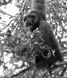 Sub-dominant male orangutan. Gunung Leuser National Park, Sumatra, Indonesia. Photo copyright: David Bartholomew