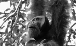Male Sumatran orangutan feeding on figs. Gunung Leuser National Park, Sumatra, Indonesia. Photo copyright: David Bartholomew
