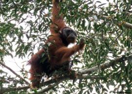 Flanged male orangutan. Gunung Leuser National Park, Sumatra, Indonesia. Photo copyright: David Bartholomew