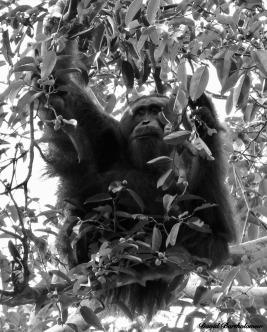 Male Sumatran orangutan feeding. Gunung Leuser National Park, Sumatra, Indonesia. Photo copyright: David Bartholomew