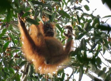 Wild baby orangutan. Gunung Leuser National Park, Sumatra, Indonesia. Photo copyright: David Bartholomew