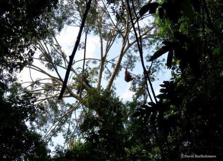Wild orangutan swinging in a strangler fig tree. Gunung Leuser National Park, Sumatra, Indonesia. Photo copyright: David Bartholomew