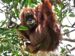 Fully wild mother and baby Sumatran orang-utans. Gunung Leuser National Park, Sumatra, Indonesia. Photo copyright: David Bartholomew