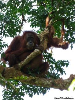 Wild mother and baby orang-utans. Gunung Leuser National Park, Sumatra, Indonesia. Photo copyright: David Bartholomew