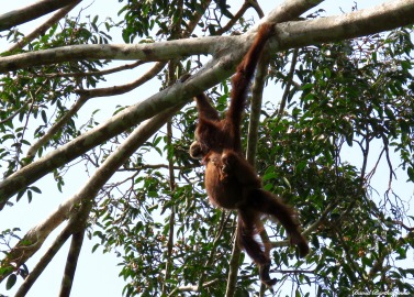 Swinging mother and baby Sumatran orang-utans. Gunung Leuser National Park, Sumatra, Indonesia. Photo copyright: David Bartholomew