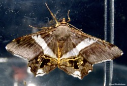 Moth. Gunung Leuser National Park, Sumatra, Indonesia. Photo copyright: David Bartholomew