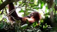 Nesting female orangutan. Gunung Leuser National Park, Sumatra, Indonesia. Photo copyright: David Bartholomew