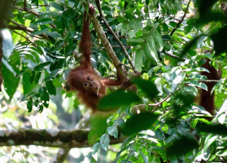 Baby orangutan. Gunung Leuser National Park, Sumatra, Indonesia. Photo copyright: David Bartholomew
