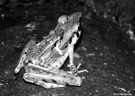 Mating frogs. Gunung Leuser National Park, Sumatra, Indonesia. Photo copyright: David Bartholomew