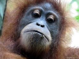 Female semi-wild orangutan after feeding on termites. Gunung Leuser National Park, Sumatra, Indonesia. Photo copyright: David Bartholomew