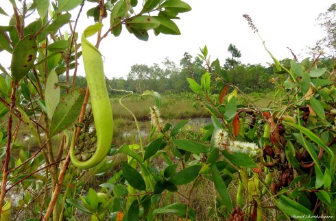 Nepenthes pitcher plants in the nutrient poor hilltop. Photo copyright: David Bartholomew