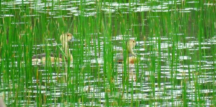 Lesser Whistling Ducks. Photo copyright: David Bartholomew