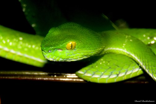 Green pit viper. Photo copyright: David Bartholomew