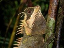 Forest lizard. Photo copyright: David Bartholomew