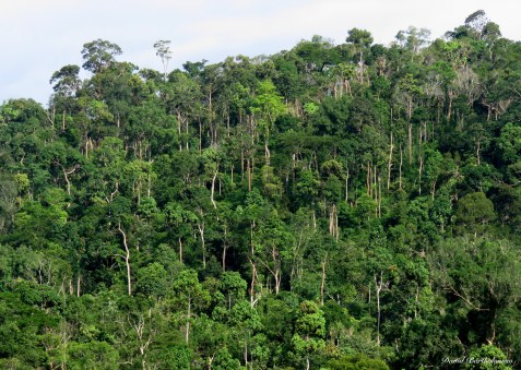 The tall dipterocarp dominated tropical forests characteristic of South-East Asia. Photo copyright: David Bartholomew