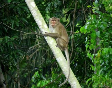 Long tailed macaque. Photo copyright: David Bartholomew