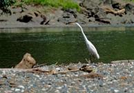 Great egret. Photo copyright: David Bartholomew