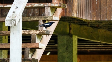 Magpie robin. Photo copyright: David Bartholomew