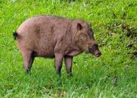 Bearded pig. Photo copyright: David Bartholomew