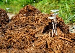 Fungus growing from elephant dung. Photo copyright: David Bartholomew