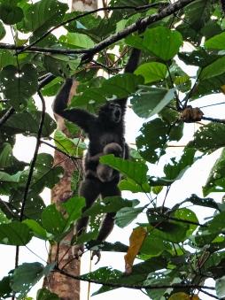 North Bornean gibbon. Photo copyright: David Bartholomew