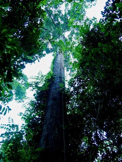 Dipterocarp tree. Photo copyright: David Bartholomew