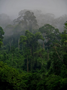 Lowland dipterocarp forest, Borneo. Photo copyright: David Bartholomew
