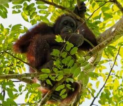 Bornean orangutan. Photo copyright: David Bartholomew