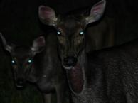 Samba deer. Photo copyright: David Bartholomew