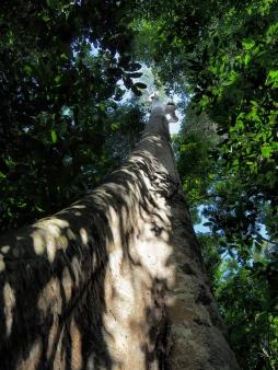 Koompassia excelsa tree. Photo copyright: David Bartholomew