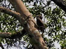 Bushy crested hornbill. Photo copyright: David Bartholomew