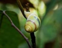 Forest snail. Photo copyright: David Bartholomew