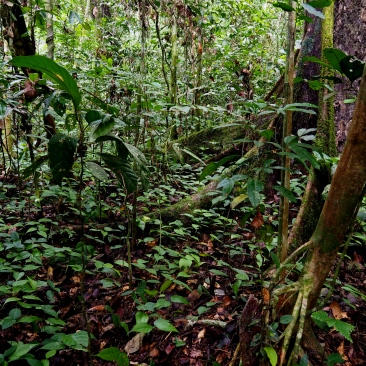 Lowland dipterocarp forest seedlings. Photo copyright: David Bartholomew
