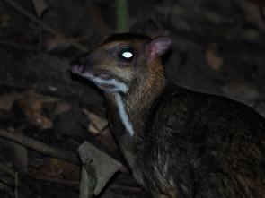 Greater mouse deer. Photo copyright: David Bartholomew